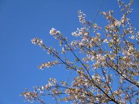 2019418葉桜.JPG