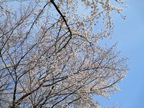 201945桜.JPG