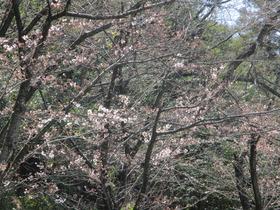 20200325桜�A.JPG