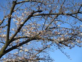 20200326桜.JPG