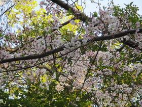 20200408中山神社桜.JPG