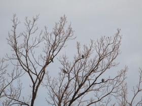 2020124樹と鳩.JPG