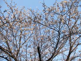 2020402桜.JPG