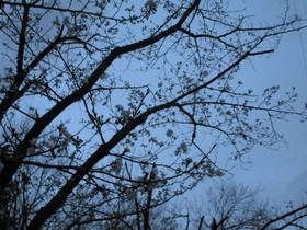 20210320夜桜.JPG