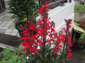 20210707赤い花.JPG