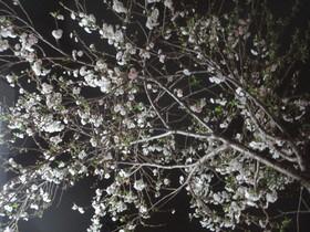 2021321夜桜.JPG